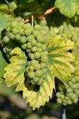 ブドウの作物来ています。 — ストック写真