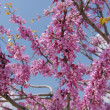 Stock Photo: Judas or RedBud Tree