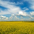 Stock Photo: Spring - rape field
