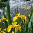 Stock Photo: Yellow irises