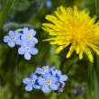 Stock Photo: Forget me not with Dandelion