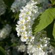 Stock Photo: Hackberry flowers
