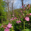 Stock Photo: Red Campion
