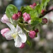 Stock Photo:  Apple tree blooms