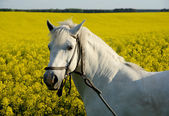 White horse and yellow field — Foto de Stock