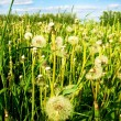 The field of dandelions — Stock Photo