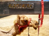 Camel in the zoo — Stock Photo