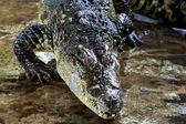 Gefährliche krokodil — Stockfoto