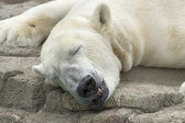 Kutup ayısı uyku — Stok fotoğraf