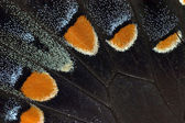 Tiger Swallowtail Butterfly Wing Detail — Stock Photo