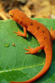 Red Spotted Newt on Leaf — Stock Photo