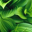 False Hellebore Leaves — Stock Photo