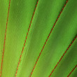 Screw Pine (Pandanus utilis) Detail - Stock Photo
