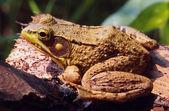 Eastern Frog Portrait — Stock Photo