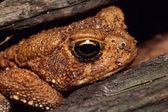 American Toad in Log — Stock Photo