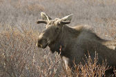 Young Moose Bull — Stock Photo