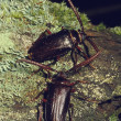 Stock Photo: Pair of Pine Borer Beetles