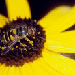 Hoverfly on Black-Eyed Susan Flower — Stock Photo