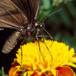 Tiger Swallowtail Butterfly on Marigold — Stock Photo
