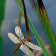 Dragonfly on Cattail Leaves — Stock Photo #19909299