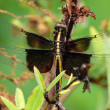 Widow Skimmer Dragonfly Portrait — Stock Photo
