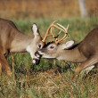 White Tailed Deer Bucks Sparring — Stock Photo #19909501