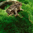 American Toad on Mossy Hill - Foto de Stock
