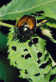 Japanese Beetle and Destroyed Leaf — 图库照片