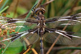 Brown Dragonfly Portrait — Stock Photo