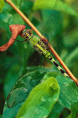 Green Darner Dragonfly (Anax junius) — Stock Photo