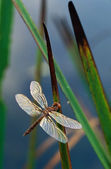 Dragonfly on Cattail Leaves — Stock Photo