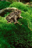 American Toad on Mossy Hill — Stock Photo