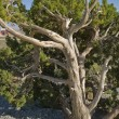 California Juniper at Red Rock Canyon — Stock Photo
