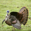 Wild Turkey Spreading Tail — Stock Photo