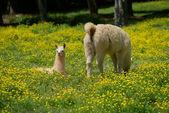 Llama and young — Stock Photo