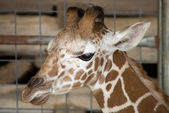 Baby Giraffe Portrait — Foto Stock