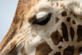 Faccia di giraffa — Foto Stock