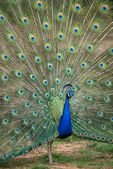 Peacock with Spread Tail — Stock Photo