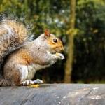 ������, ������: Grey squirrel