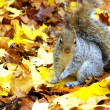 Grey squirrel - Foto Stock