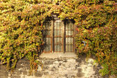 Old wall with ivy — Stock Photo