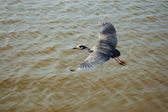 Great blue heron is flying over ocean bay — Stock Photo