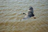 Great blue heron is flying over ocean bay — Stock Photo