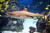 Shark swimming in an aquarium — Stock Photo