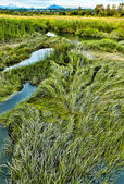 Marsh grass in summer at Spencer Island wetlands — Stock Photo
