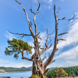 Gnarled evergreen tree at Washington Park, Anacortes, Washington — Stock Photo #18402143
