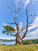 Gnarled evergreen tree at Washington Park, Anacortes, Washington — Stock Photo