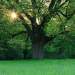 Oak in the spring meadow - Stock Photo