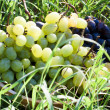 Bowl of grapes is on the grass-harvest — Stock Photo
