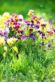 Field  Pansy mix Flowers in Spring — Foto de Stock